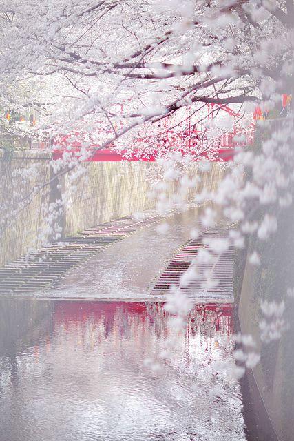 Cherry blossom, Meguro River, Tokyo, Japan.