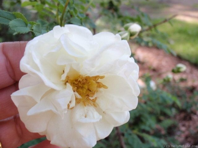 'Double White Scotch' Rose Photo