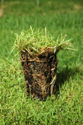 A Texas Tech University plant and soil science professor and a Lubbock nurseryman have characterized a new shade-tolerant grass.