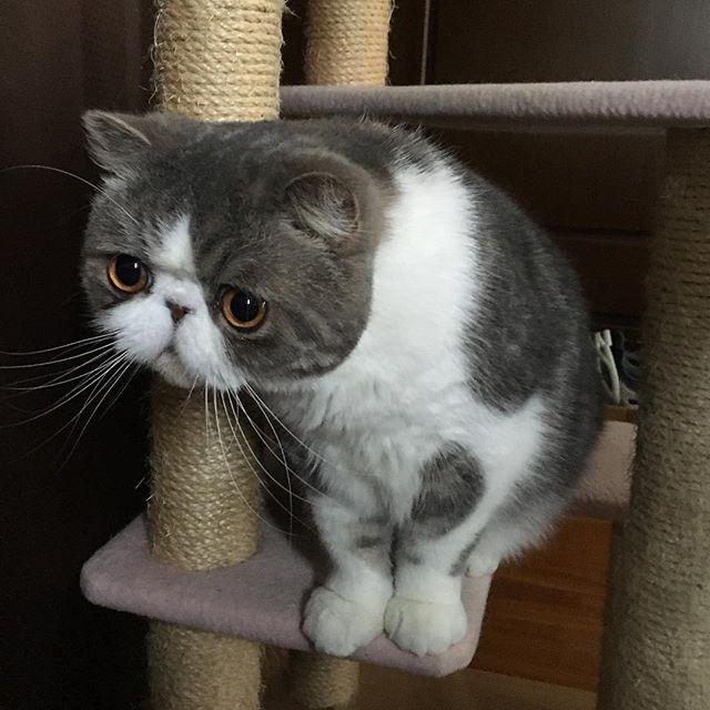 exotic.toshi そこに誰かいますか〜? #ムスカ#cats#cat#pets #pet #cute #catiloverclub #猫 #エキゾチックショートヘア#twitterweek#exoticshorthair#cat_features#instacat#catsgram#catsofinstagram#kitten#meow#catlover#catsagram#catlovers#cat_features#catlife#catlove#catsgram#cutecat#cutecats#Instagramjapan#topcatphoto#kittylove#mycat#instacats#instacat#ふわもこ部  2017/04/15 13:39:36