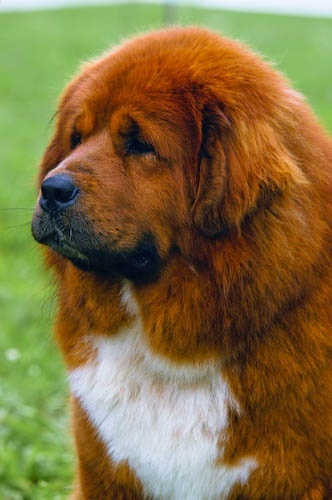 Tibetan Mastiff. I saw this breed last night on the Westminster Dog Show. They are as big as lions! I want one, but I'm pretty certain they are illegal to own in Louisiana. :(