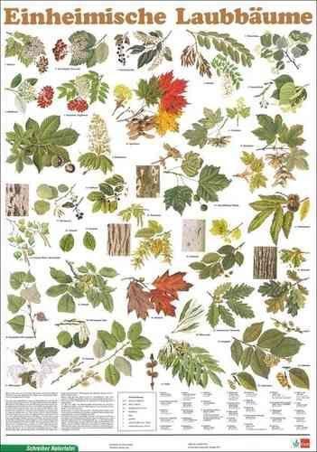 Einheimische Laubbäume - Poster zum Bäume bestimmen