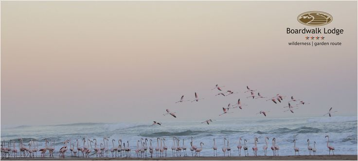 Flamingos on Wilderness Beach
