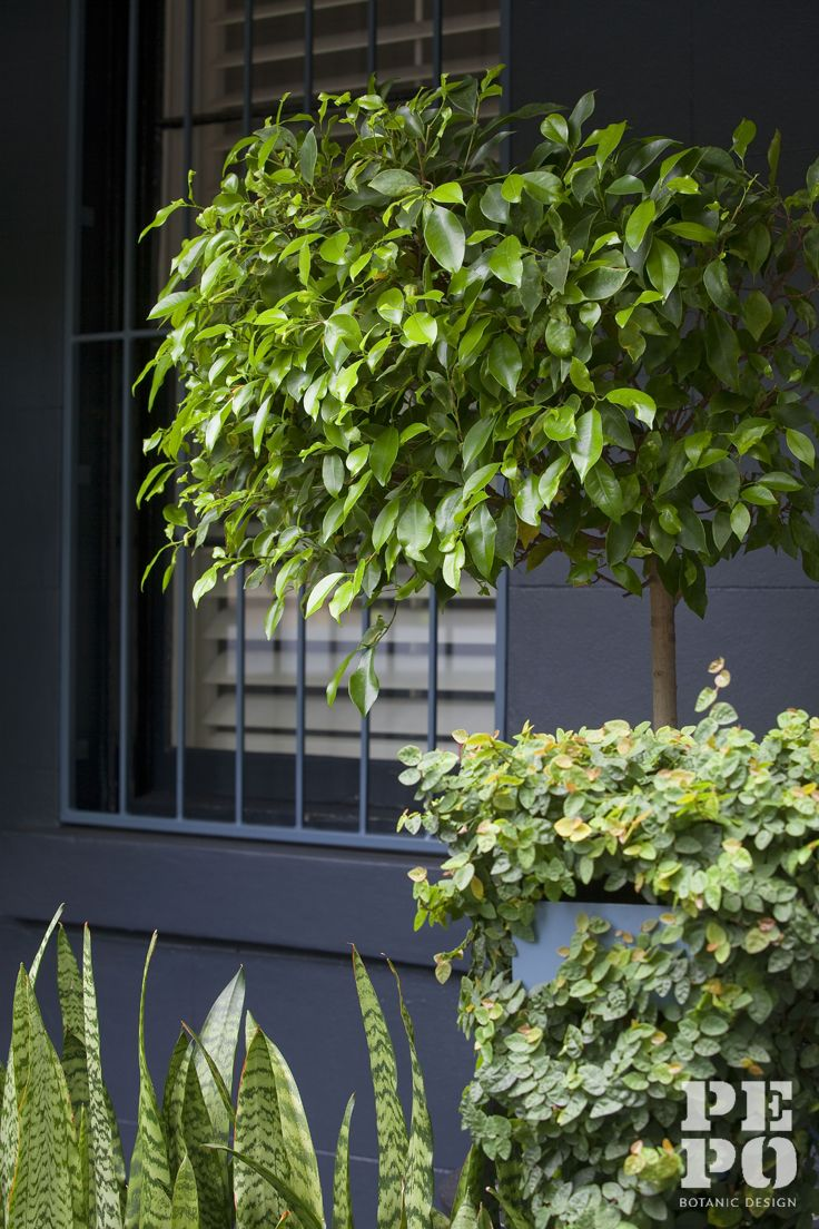 Bold foliage and planting geometry Woollahra, Eastern Suburbs Sydney By Pepo Botanic Design