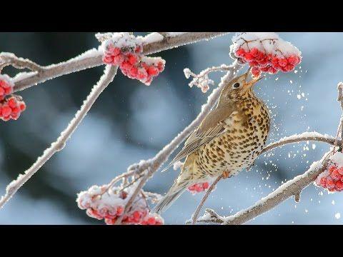 Mistle thrush eats rowan berries, video | Dear Kitty. Some blog