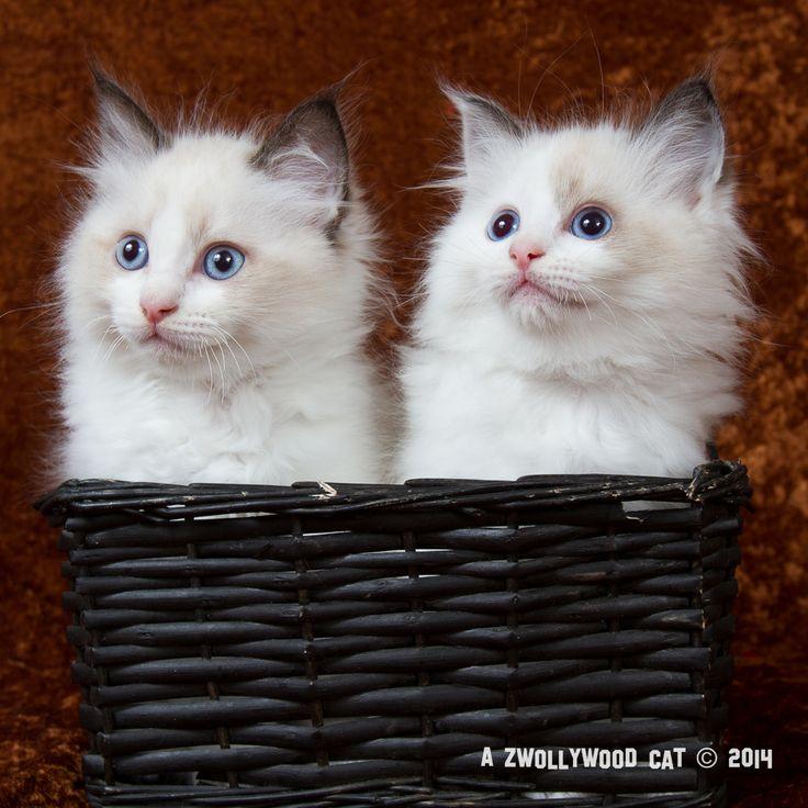 2014: Fillmore and Lightning, 10 weeks old Ragdoll kittens. Cars litter.