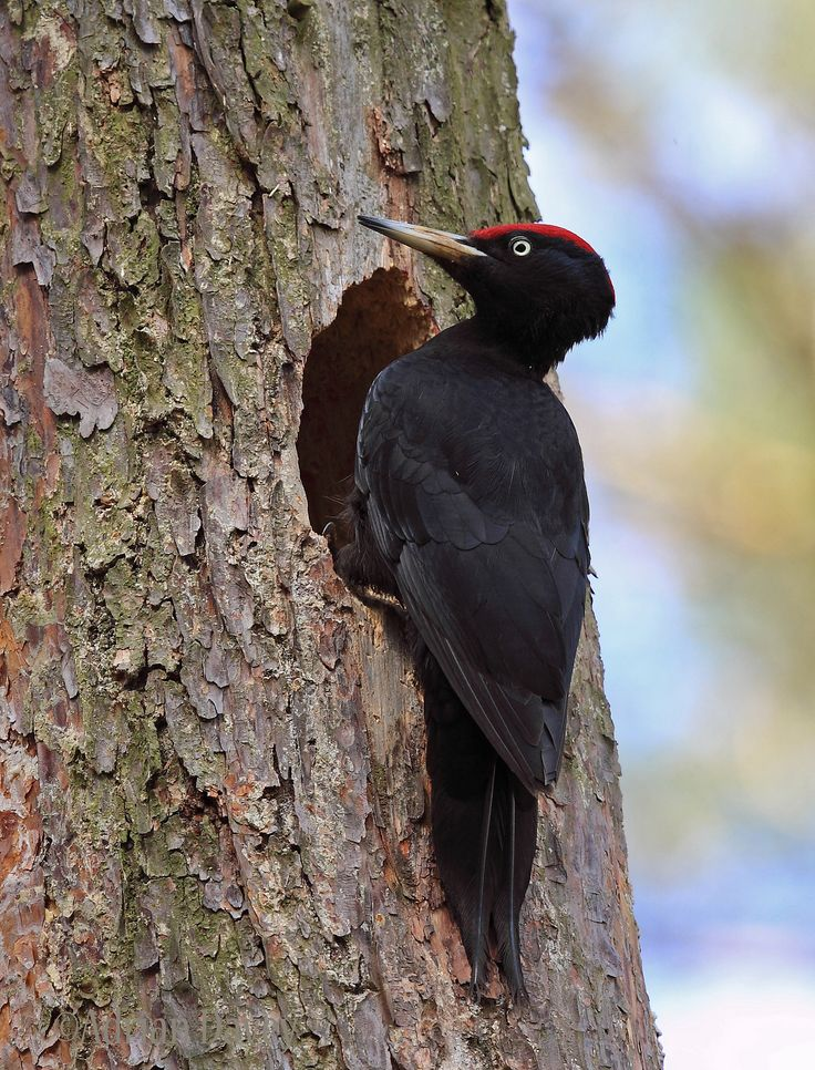 Black Woodpecker, | Male at Nest Hole.Biebrza, Poland,May 2013,