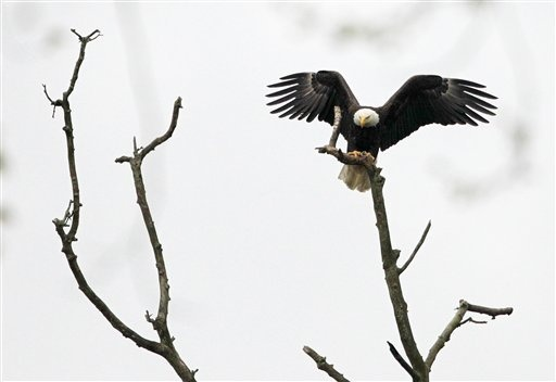 A bald eagle lands on a branch at the Cuyahoga Valley National Park in Brecksville, Ohio, on Tuesday, May 1, 2012. The eagle is one of a nesting pair who have at least one eaglet in their nest. Park o