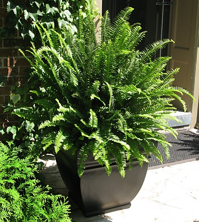 Evergreen Container Plants