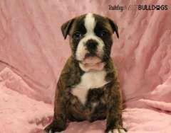 Aussie Bulldog Pups. READY NOW | Australian Bulldog puppies for sale Kelso New South Wales on pups4sale - https://www.pups4sale.com.au/dog-breed/665/Australian-Bulldog.html