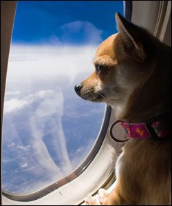 Flying with Service Dogs and Emotional Support Animals:  Everything You Need To Know