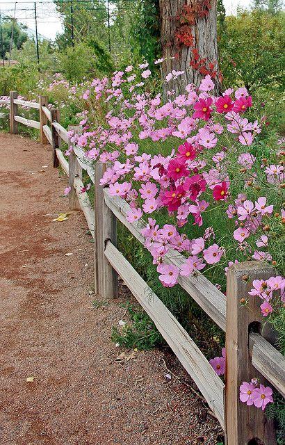 Cosmos at Albuquerque Botanical Garden.