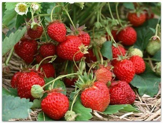 Как правильно пересаживать клубнику | Дачный сад и огород