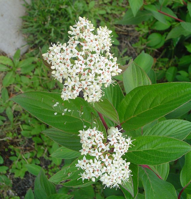 12 Species of Dogwood Trees and Shrubs: Red Osier Dogwood