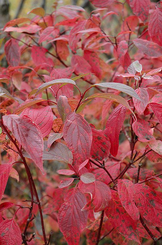 Red Osier Dogwood (Cornus sericea) at Oakland Nurseries Inc