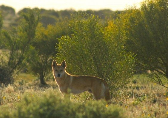 A comparison of conditions in the outback on either side of Australia's dingo fence has revealed that extermination of these apex predators affects not only the abundance of other animals and plants, but also reduces the quality of the soil. The UNSW study indicates greater control of kangaroo...