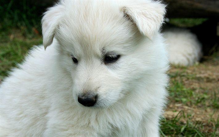 Download wallpapers Kuvasz, puppy, dogs, muzzle, cute animals, pets, Kuvasz Dog