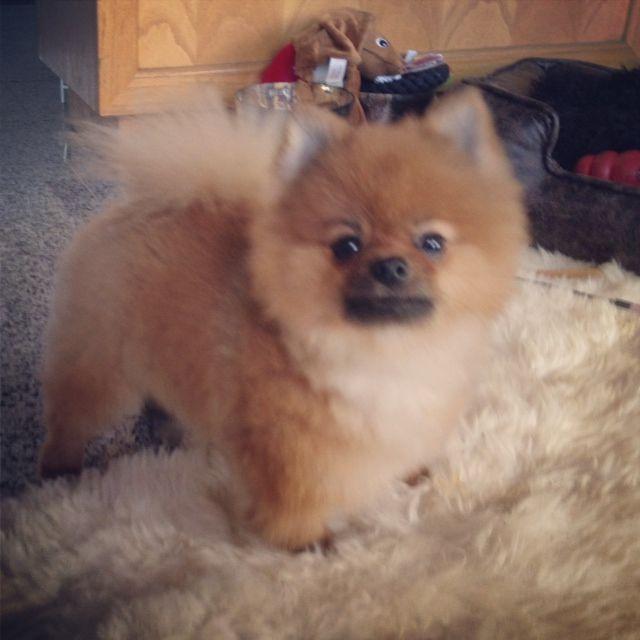Haircuts For Pomeranians: Haircut For Wolfgang The Pomeranian