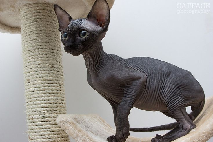 There are certain black sphynx that I find so enticing.