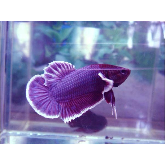 496 best images about betta fish aka siamese fighting fish for Do betta fish sleep