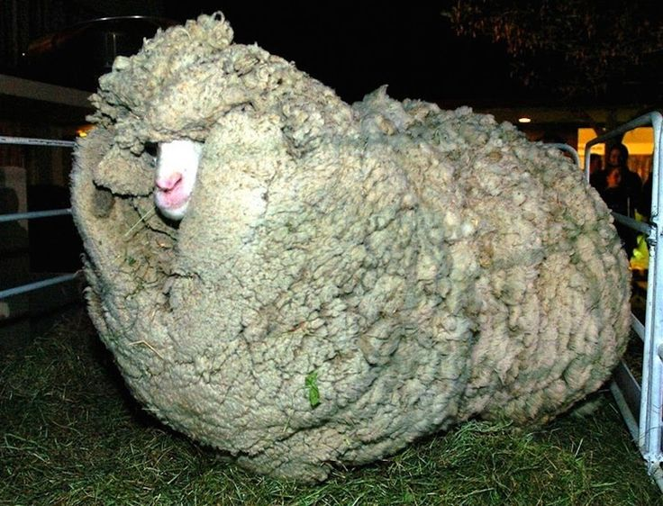 shrek-the-sheep-3[6]Some breeds of sheep naturally shed their wool each year, but Merino sheep, typically raised for meat, never shed their fleece. Hidden behind cave walls, far from any shearing blades, Shrek's wool continued to grow, and grow, and grow some more.