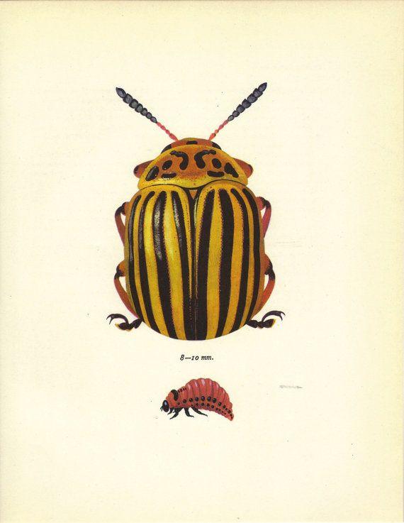 Entomological illustration of beetles