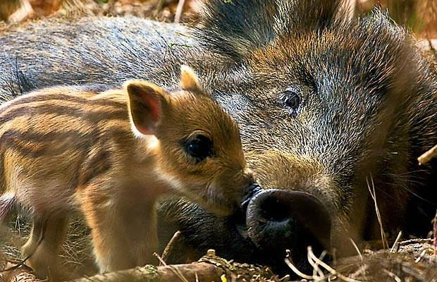 Sanglier = boar (anglais). Ours = bear (anglais). Marcassin = young wild boar.