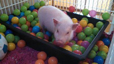 Mini Pig Rooting Box