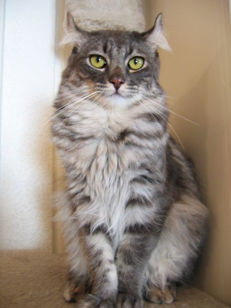 My kittie Tempe was one of these. So pretty American Curl:   The American Curl is a native breed to America and is a medium-sized cat. The ears curl out and backwards making the cat look alert with a happy expression.