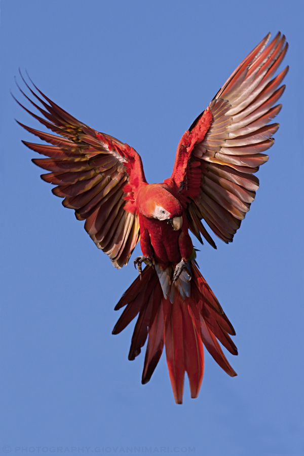 Scarlet Macaw, Carara - Costa Rica