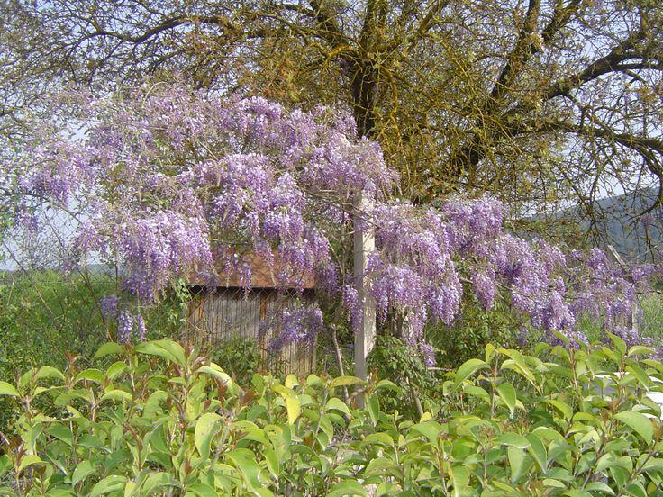 Bahçemdeki Mor sakım ağacı