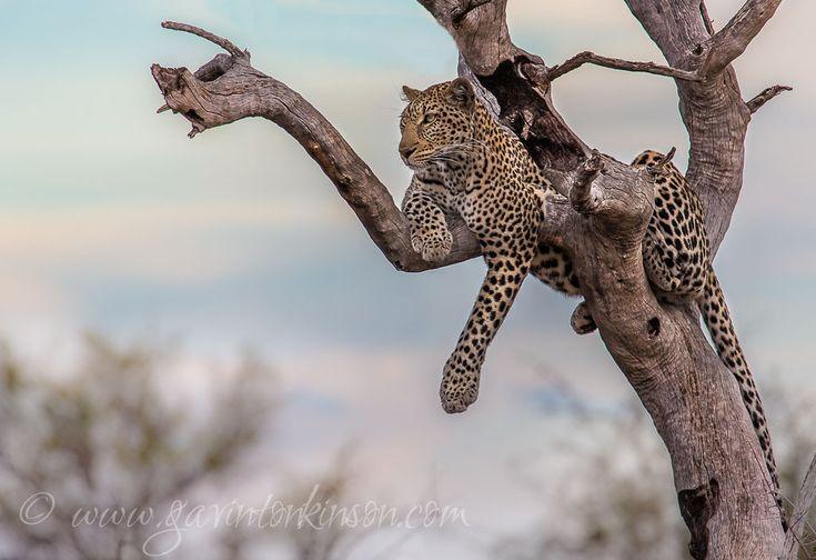 Tsala our Female Leopard on the hunt  Photo Credit: Gavin Tonkinson