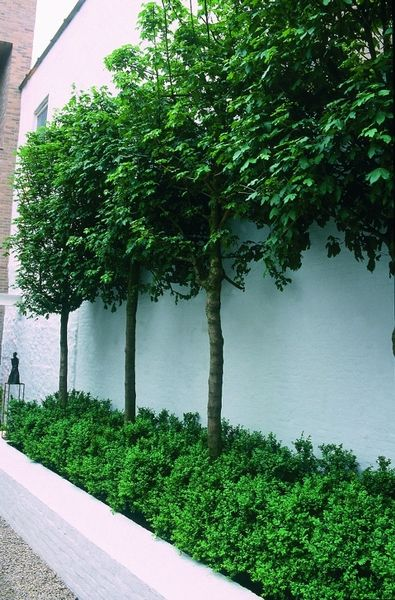 Architectural pleached trees under planted with buxus