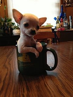 7 Best Images About My Chihuahua Has My Heart