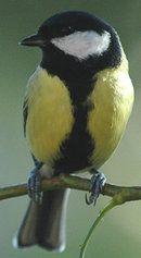 Mésange charbonnière Great chickadee