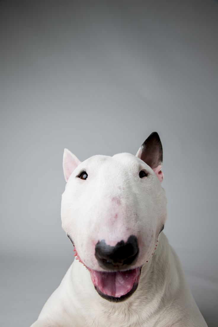 Kid, Miniature Bull Terrier, Portraits from the Westminster Dog show