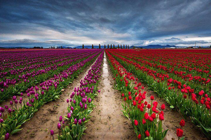 Tulpenvelden Nae Chantaravisoot