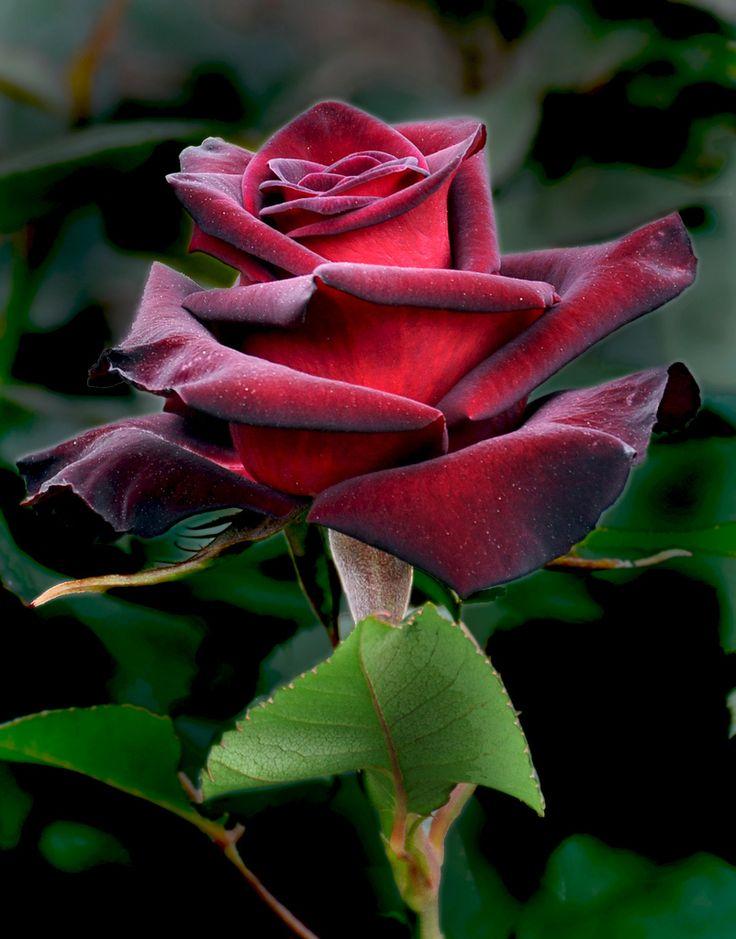 25 best ideas about rose baccara on pinterest roses. Black Bedroom Furniture Sets. Home Design Ideas