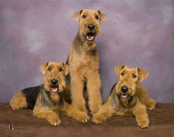 These are such pretty big dogs.. love the Airedale!!  scot  airedale  Pinterest  Kid