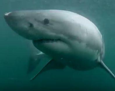 ¡Un hombre salta desde unas rocas en Sídney y se encuentra cara a cara con un tiburón blanco! #ataque #sídney #tiburón http://www.pandabuzz.com/es/video-del-dia/hombre-tiburón-blanco