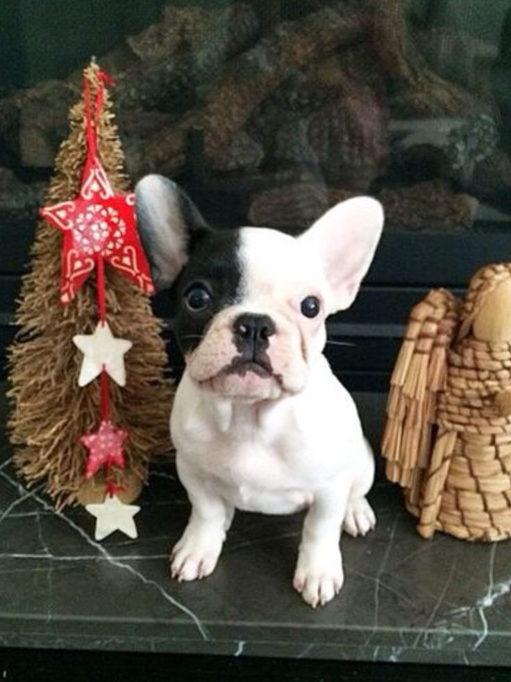 Manny, the French Bulldog Puppy at Christmas.