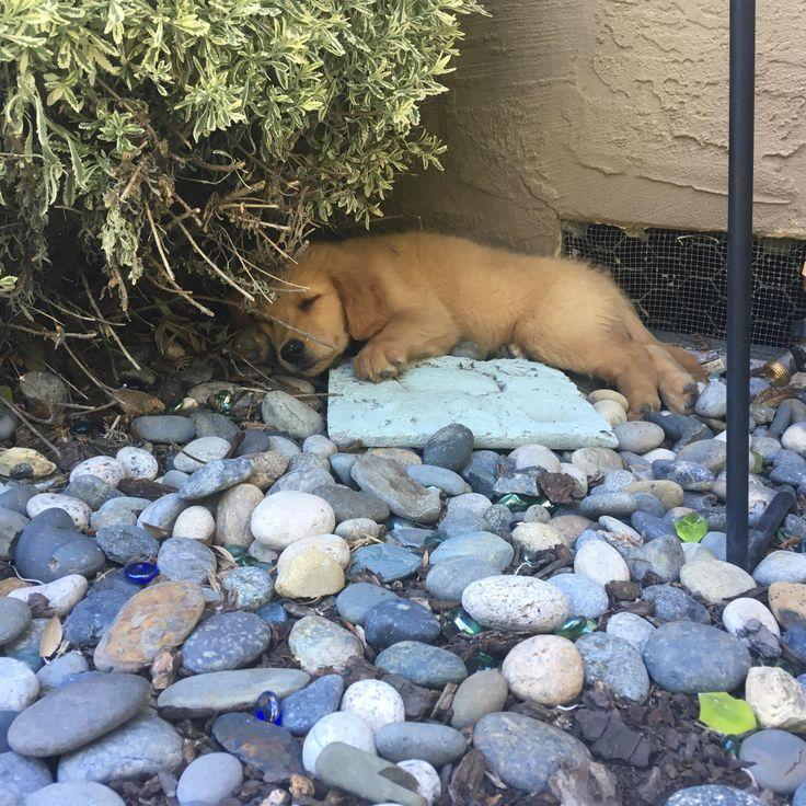 My New Puppy Found His Nap Spot Goldenretriever Puppy Find New