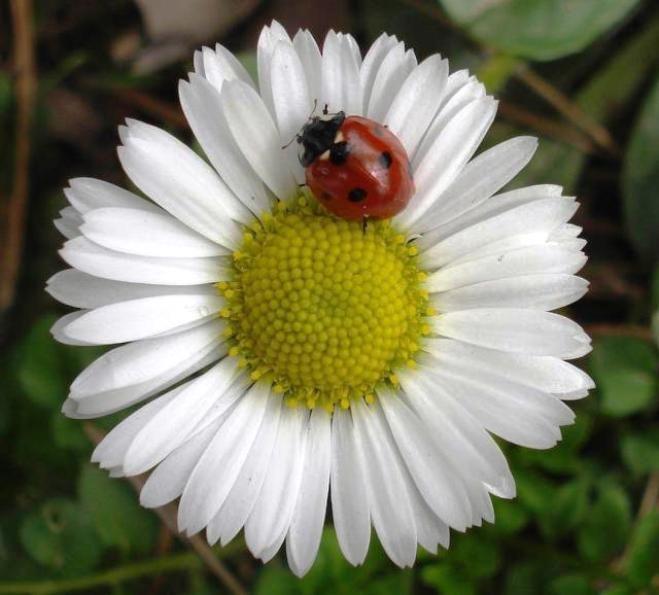 Gambar Bunga Daisy dan Kepik