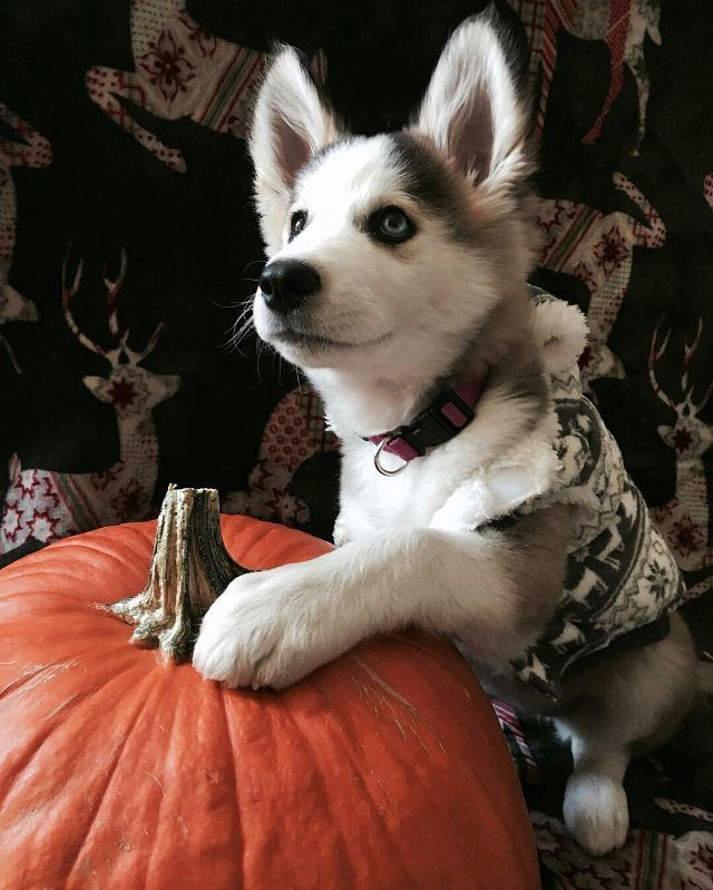 ❤📷 from @novathe_husky_ -  Today I found my love for pumpkins 🎃❤️🍁