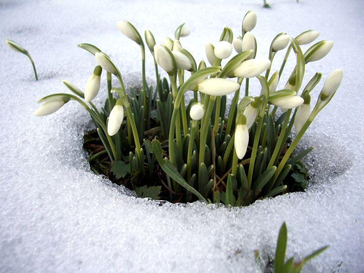 Przebiśniegi, Śnieg