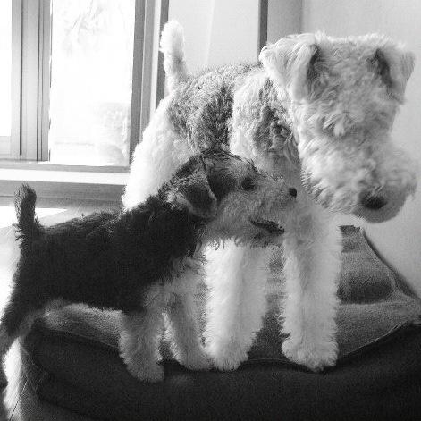 Fox terrier/lakeland terrier combination- double trouble !