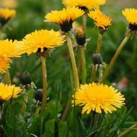 Dandelion weed removal - natural and eco friendly
