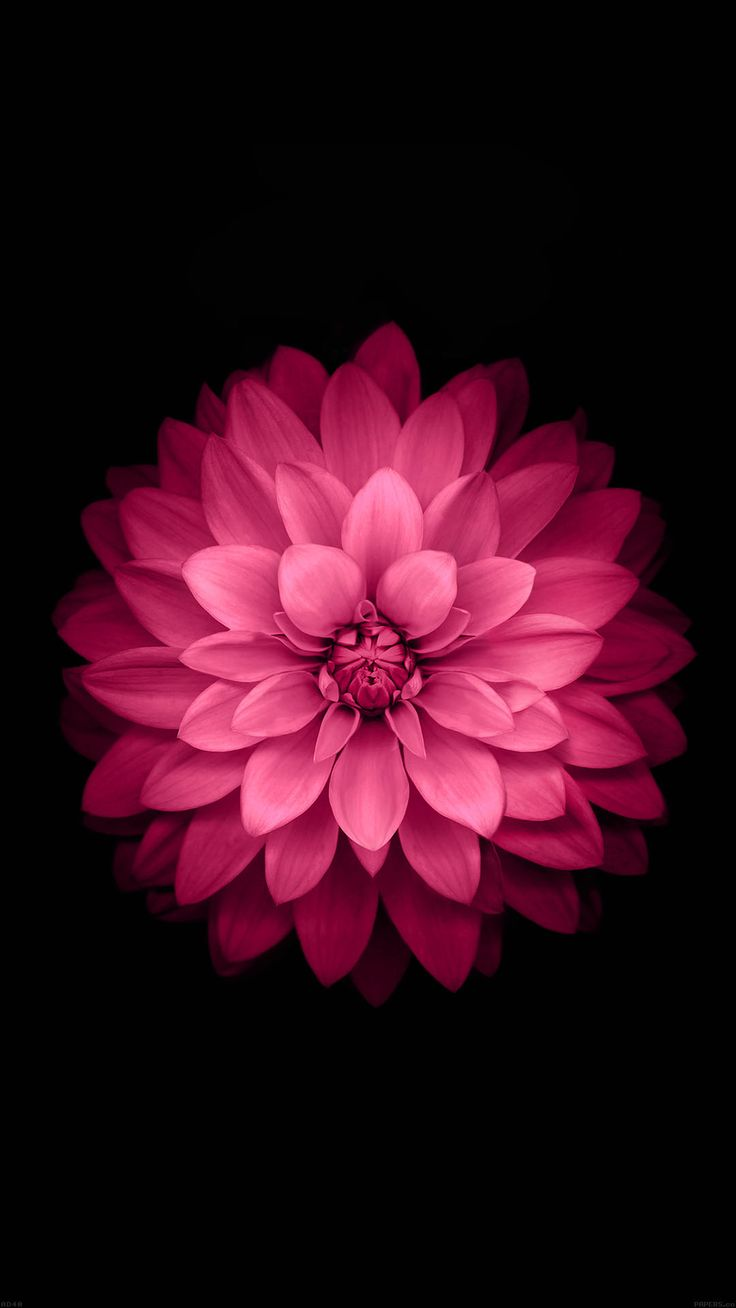 Wallpaper iphone 6 black - Nature Pink Flower Black Stylish Awesome Minimalistic Hintergrundbilder Iphoneblumegarteniphone 6