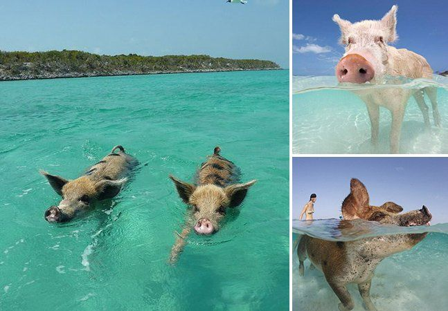 Quando pensamos em Bahamas, uma das primeiras coisas que surge na nossa cabeça é o mar azul-turquesa, que oferece aquele brilho único às paisagens. O que nós nunca adivinharíamos é que, num desses cenários idílicos, poderíamos ter a companhia de porcos nadadores. Seja bem-vindo à Ilha dos Porcos. Não que os bichos representem uma evolução da espécie. A explicação parece ser a de que um grupo de marinheiros os deixou na Big Major Cay, nome oficial da ilha, no arquipélago de Exuma Cays, para…