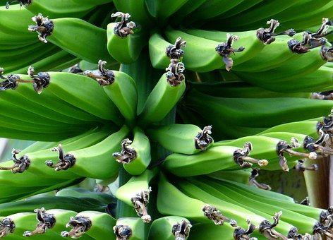 Banaani Pensaat, Banaani, Ruoka